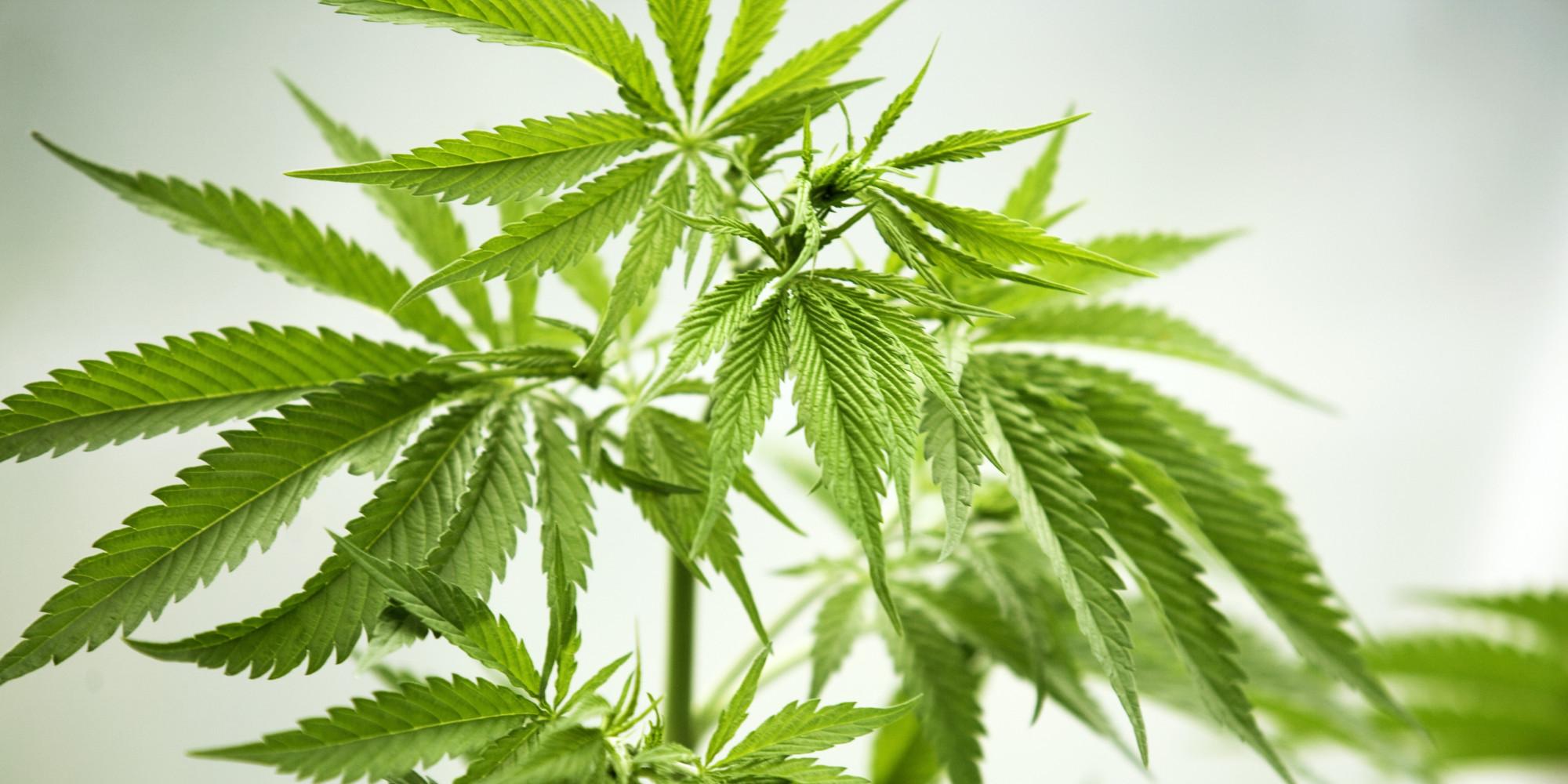 Cannabis a uso terapeutico Dr Domenico Battaglia